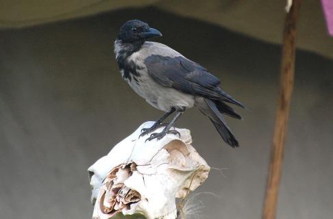 Kan beina til fuglane brukast til noko? Strukturen i beina deira er meir porøs for å gjære fuglen lett. Det gjær bein fra fuglar ikkje like egne til alt.